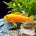 (熱帯魚)オレンジゼブラ・シクリッド Mサイズ(1匹) 北海道・九州・沖縄航空便要保温