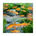 (金魚)生餌 小赤 エサ用金魚 大和郡山産(300匹) エサ金 餌金
