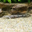 (熱帯魚)ポリプテルス・エンドリケリー・エンドリケリー Sサイズ(国産ブリード)(3匹) 北海道・九州航空便要保温