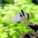 (熱帯魚)オランダ・ラミレジィ(国産ブリード)(5匹)