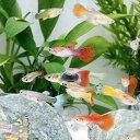 (熱帯魚)お一人様1点限り 外国産ミックスグッピー(5ペア) 北海道・九州・沖縄航空便要保温