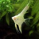 (熱帯魚)アルビノスカラレ・エンゼルフィッシュ ペルー(ヨーロッパブリード)(1