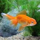 (国産金魚)日本オランダ獅子頭/日本オランダシシガシラ(1匹)