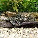 (熱帯魚)一点物 ドラゴンハイフィンレオパード・トリム No.4 13〜15cm(1匹) 北海道・九州航空便要保温