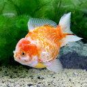 (金魚)一点物 銀鱗桜オランダシシガシラ ショートテール(中国産)(1匹)