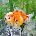 (金魚)一点物 キャリコオランダシシガシラ ショートテール(中国産)(1匹)