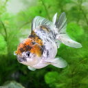(金魚)一点物 メタリックキャリコオランダシシガシラ ショートテール(中国産)(1匹) 北海道・九州航空便要保温