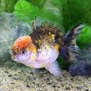(金魚)一点物 メタリックキャリコオランダシシガシラ ショートテール(中国産)(1匹)