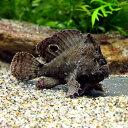 (熱帯魚)ブラキッシュウォーターフロッグ・フィッシュ(淡水カエルアンコウ)(1匹) 北海道・九州・沖縄航空便要保温