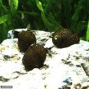 水槽や石の表面のコケを食べる!▼石巻貝(10匹)