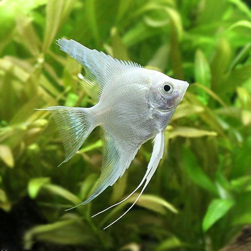 (熱帯魚)プラチナホワイト・エンゼルフィッシュ(ヨーロッパブリード)(1匹) 北海道航空便要保温