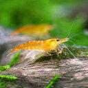 (エビ)オレンジチェリーシュリンプ(18匹) 北海道・九州航空便要保温