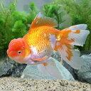 (国産金魚)一点物 日本オランダ獅子頭/日本オランダシシガシラ 梶山氏作出(1匹)