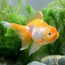 (国産金魚)一点物 日本オランダ獅子頭/日本オランダシシガシラ 大井氏作出(1匹)