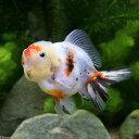 (国産金魚)一点物 東錦 ショートテール(1匹)