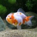 (国産金魚)一点物 桜東錦 ショートテール(1匹)