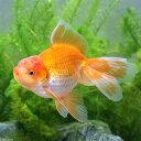 (国産金魚)一点物 日本オランダ獅子頭/日本オランダシシガシラ 鈴木廣氏作出(1匹)