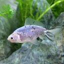 (国産金魚)一点物 黒青モザイク和金(1匹)