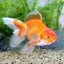 (国産金魚)一点物 日本オランダ獅子頭/日本オランダシシガシラ(1匹)