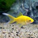 (国産金魚)ゴールデンコメット 長尾(3匹)