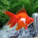 (国産金魚)一点物 飯田琉金(リュウキン)(1匹)