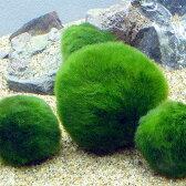 (水草)セイヨウマリモ Lサイズ(約4〜8cm)(無農薬)(1個)