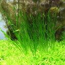 (水草)スクリューバリスネリア(無農薬)(40株)