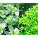 (水草)グリーンロタラ(水上葉)(無農薬)(10本) 北海道航空便要保温