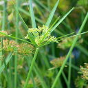 (ビオトープ/水辺植物)シュロガヤツリ(1ポット分)