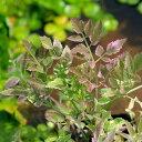 (ビオトープ/水辺植物)アケボノセリ(1ポット分)
