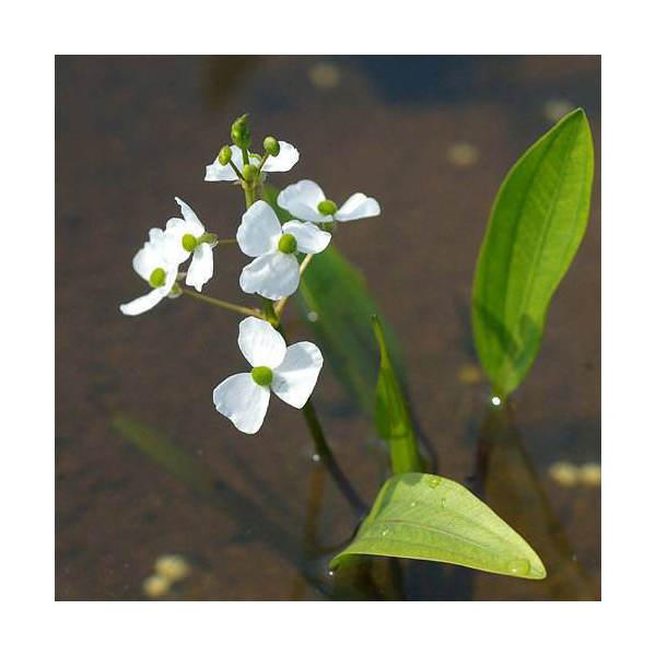 (ビオトープ/水辺植物)ヒメオモダカ(1株)...:chanet:10005520