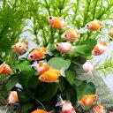 (金魚)まめピンポンパール(1匹)