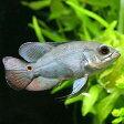 (熱帯魚)オスカー コロンビア Sサイズ(ワイルド)(1匹) 北海道・九州航空便要保温