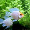 (熱帯魚)ゴールデンバルーンブルーダイヤモンド・ラミレジィ(1匹) 北海道・九州・沖縄航空便要保温