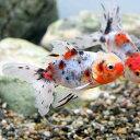 (国産金魚)関東東錦 (1匹)