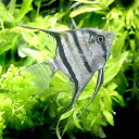 (熱帯魚)スカラレ・エンゼルフィッシュ コロンビア(ワイルド)(1匹)  北海道・九州航空便要保温