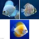 (熱帯魚)ダイヤモンド・ディスカス3種 Aセット(Sサイズ)(各種1匹) 北海道・九
