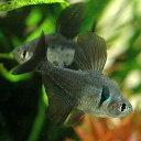 (熱帯魚)ブラックファントム・テトラ(30匹)