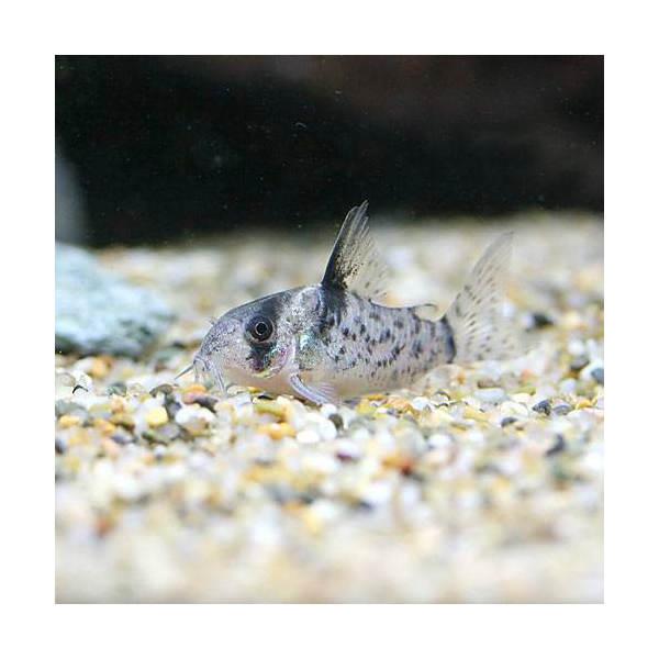 (熱帯魚)コリドラス・シュワルツィ Sサイズ(ワイルド)(1匹) 北海道航空便要保温