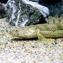 (熱帯魚)ポリプテルス・エンドリケリー・エンドリケリー Mサイズ(国産ブリード)(1匹) 北海道・九