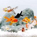 (国産金魚)(B品)金魚ミックス Mサイズ(5匹)