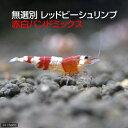 (エビ)無選別 レッドビーシュリンプ 赤白バンドミックス(5匹) 北海道航空便要保温