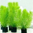 (水草)メダカ・金魚藻 マルチリングブラック(黒) マツモ ミニ(無農薬)(3個) 北海道航空便要保温