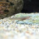 (淡水魚)ナガレホトケドジョウ(1匹) どじょう