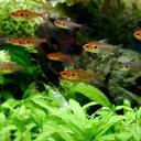 (熱帯魚)レッドファントム・ルブラ(ワイルド)(3匹)