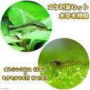 (エビ・貝)コケ対策セット 水草水槽用 オトシンクルス(3匹) + ミナミヌマエビ(10匹)