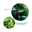 (熱帯魚 水草)ネオンテトラ(20匹) +おまかせ水上葉3種セット 計10本  北海道・九州航空便要保温