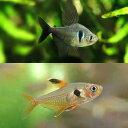 (熱帯魚)ブラックファントム・テトラ(3匹)+レッドファントム(ブリード)(3匹)(計6匹) 北海道・九州・沖縄航空便要保温