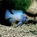 (熱帯魚)ブルーダイヤモンド・ラミレジィ(5匹)