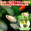 (熱帯魚 水草)ミッキーマウスプラティ(4匹) + ライフマ...